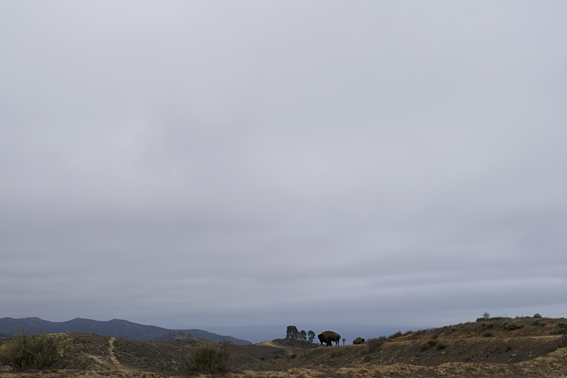 Bison Along the TCT in Catalina Island